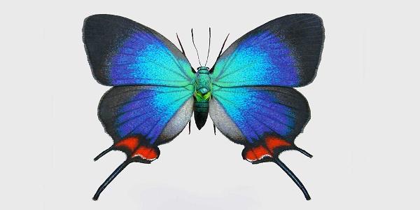 db20fd6eb تعرف باسم هيرستريك او ايفينوس كوروناتا ، وهي فراشة نادرة للغاية وتتواجد  خصوصًا في جنوب المكسيك حتى منطقة الاكوادور ، ومن الألوان التي تتميز بها هو  ...
