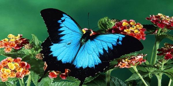 bb497881c إن الفراشات هي ثاني أكبر ملقح في العالم ، وهي تمر وتتطور في حياتها خلال  أربع مراحل ، فتبدأ عملية التحول عندما تخرج من البيض الخاص بها لتتناول أول  وجبة ...