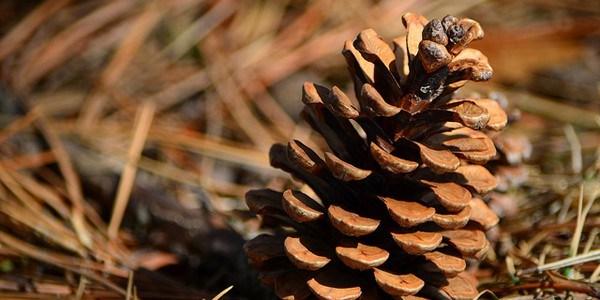 أفضل 7 أنواع من مخاريط الصنوبر Pinecone-LongitudeLatitude